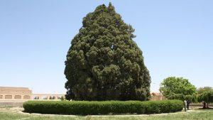 cyprès d'Abarqu, Yazd
