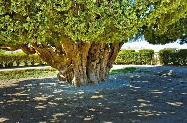 Cyprès Abarqu Iran