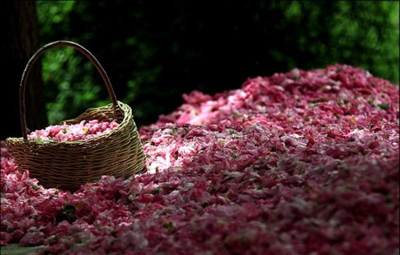 Festival de l'eau de Rose de Kashan