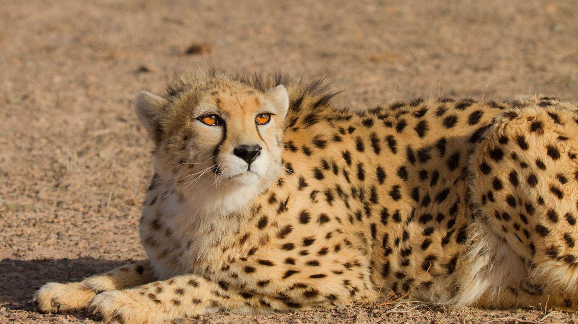 Guépard asiatique