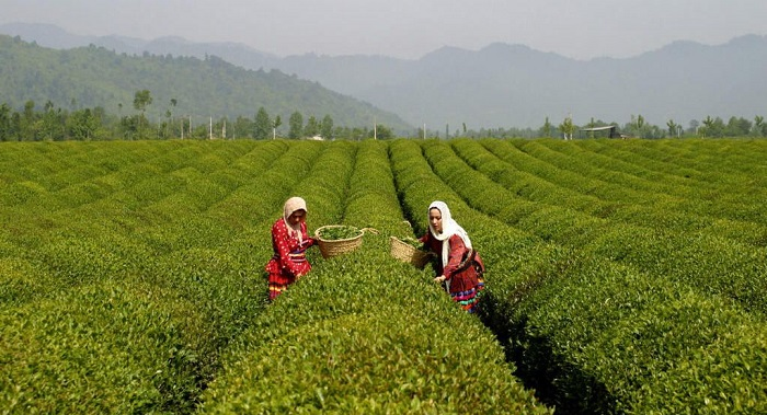 thé Iran
