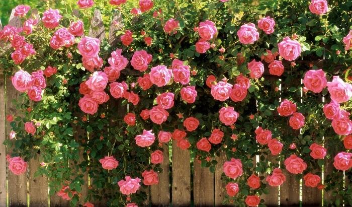 rose d'iran